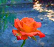 An orange rose in bloom