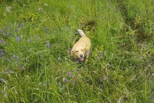 A happy yellow dog in the grass